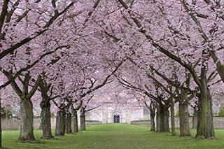 Zierkirschen im Schlosspark Schwetzingen