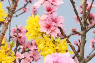 Mandelblüte Giimmeldingen