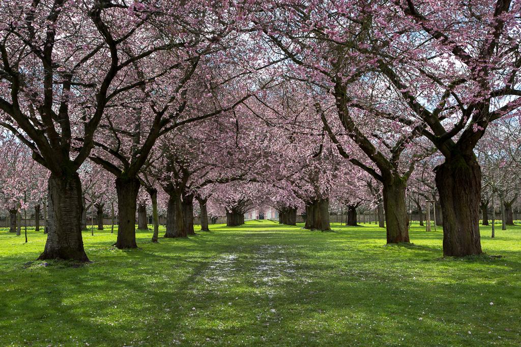 Japanische Zierkirschenblüte in Schwetzingen