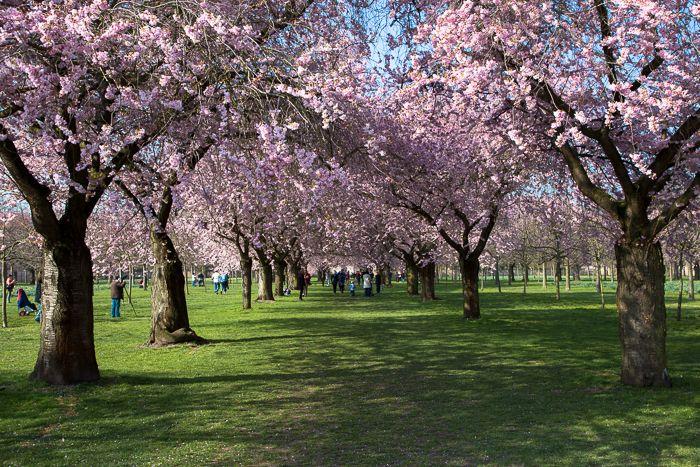 Zierkirschenblüte in Schwetzingen