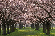 Schlosspark Schwetzingen, Japanische Kirschbäume